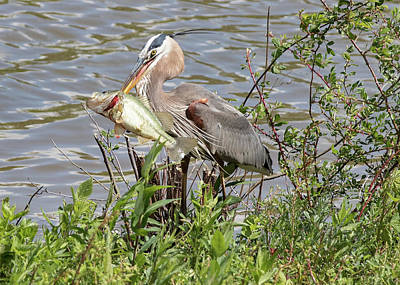 Photograph - Great Blue Heron And Bass - Waters Edge by Ron Grafe