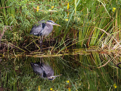 Great Blue Heron Photograph - Great Blue Heron And His Reflection by Zina Stromberg