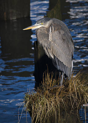 Photograph - Great Blue Heron And Pilings by Robert Potts