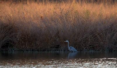 Great Blue Heron And Sunlit Field Art Print