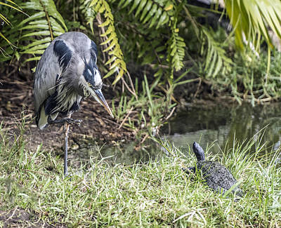 Photograph - Great Blue Heron And Turtle Confrontation by William Bitman