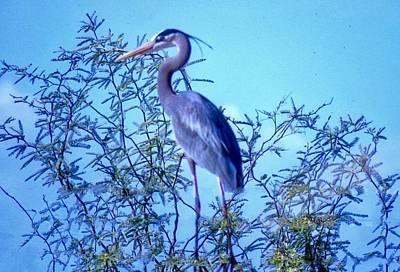 Photograph - Great Blue Heron - Artistic 3 Dark by Judy Kennedy
