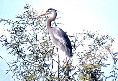 Photograph - Great Blue Heron - Artistic 7 by Judy Kennedy