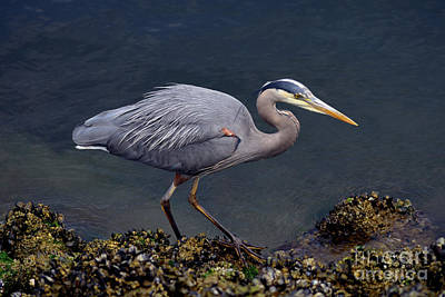Photograph - Great Blue Heron At False Creek by Terry Elniski
