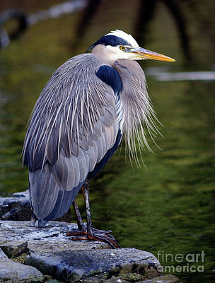 Photograph - Great Blue Heron At Lost Lagoon 1 by Terry Elniski