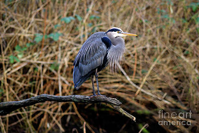 Photograph - Great Blue Heron At Lost Lagoon 2 by Terry Elniski