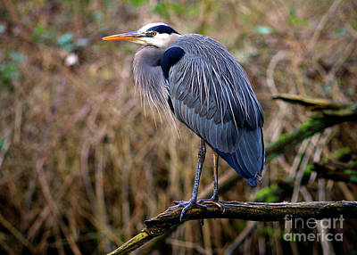 Photograph - Great Blue Heron At Lost Lagoon 3 by Terry Elniski