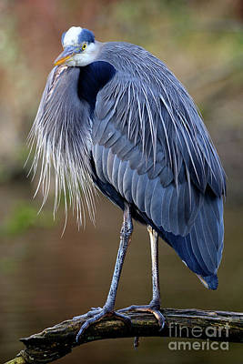 Photograph - Great Blue Heron At Lost Lagoon 4 by Terry Elniski