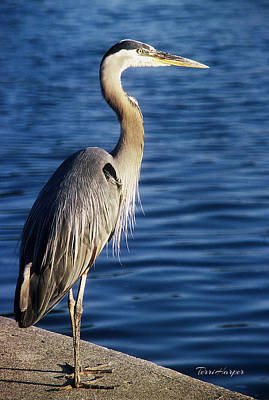 Photograph - Great Blue Heron At Put-in-bay by Terri Harper