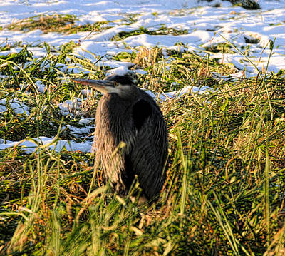 Photograph - Great Blue Heron At Reifel by Lawrence Christopher