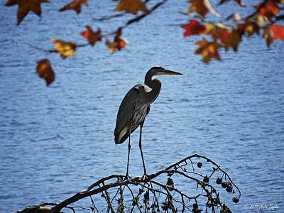 Photograph - Great Blue Heron At Shores Of King's Mountain Point by Matt Taylor