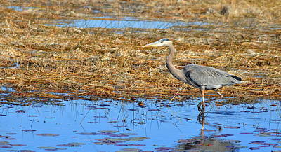 Photograph - Great Blue Heron At St. Marks by Carla Parris