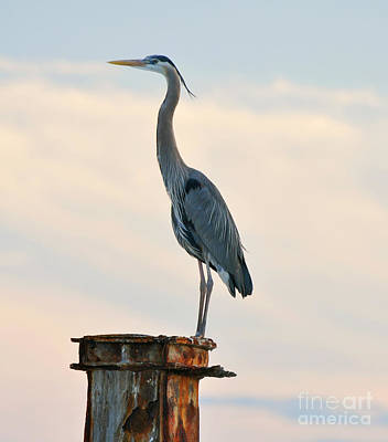 Photograph - Great Blue Heron At Sunset by Rose  Hill