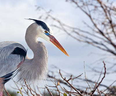Great Blue Heron At Wakodahatchee Wetlands Art Print