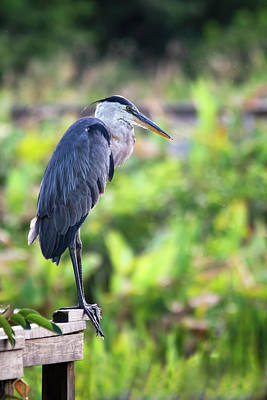 Photograph - Great Blue Heron Atop A Fence by Saija Lehtonen