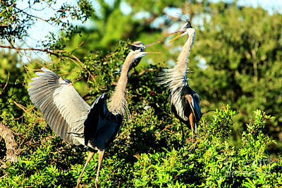 Photograph - Great Blue Heron Battle by Ben Graham