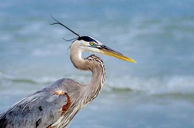 Photograph - Great Blue Heron Beach Portrait by Debra Martz