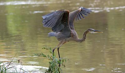 Great Blue Heron Begins Flight Art Print