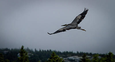Photograph - Great Blue Heron by Benjamin Dahl