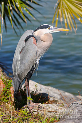 Heron Photograph - Great Blue Heron By The Lake by Carol Groenen