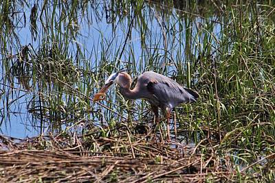 Photograph - Great Blue Heron Catch by Cynthia Guinn