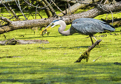 Photograph - Great Blue Heron Catch Of The Day by Edward Peterson