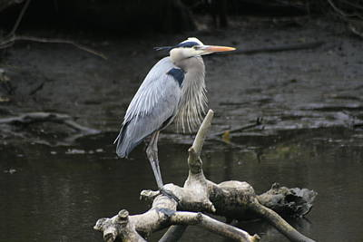 Photograph - Great Blue Heron by Christopher Kirby