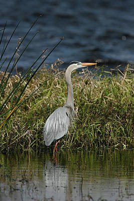 Photograph - Great Blue Heron by Cindi Ressler