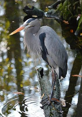 Photograph - Great Blue Heron Contemplating by rd Erickson
