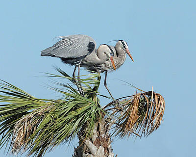 Photograph - Great Blue Heron Couple I by Dawn Currie
