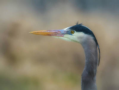 Photograph - Great Blue Heron by Craig Strand