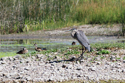 Beers On Tap - Great Blue Heron Crouching by Alyce Taylor