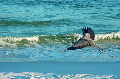 Photograph - Great Blue Heron Cruising Pensacola Beach by Marie Hicks