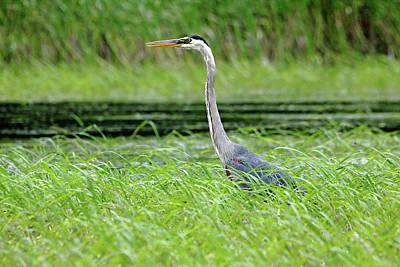 Photograph - Great Blue Heron by Debbie Oppermann