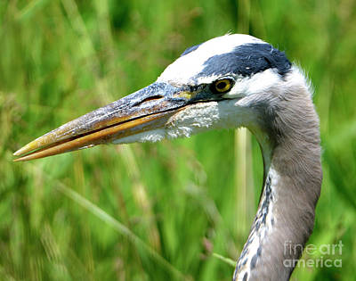 Photograph - Great Blue Heron by Denise Bruchman