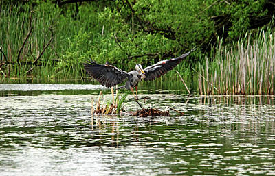 Photograph - Great Blue Heron Doing The Happy Dance by Debbie Oppermann