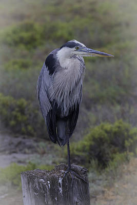 Photograph - Great Blue Heron by Dusty Wynne