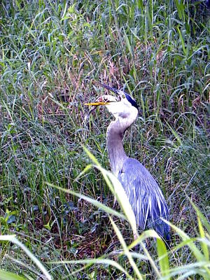 Florida Wildlife Photograph - Great Blue Heron Eating A Fish by Chris Mercer