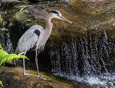 Photograph - Great Blue Heron by Ed Clark
