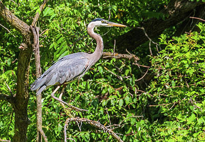 Photograph - Great Blue Heron by Edward Peterson