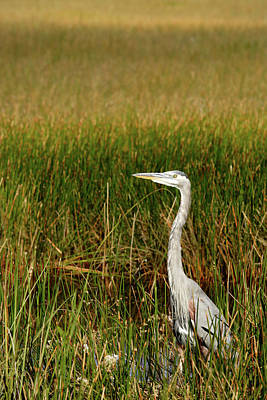 Photograph - Great Blue Heron by Eric Foltz
