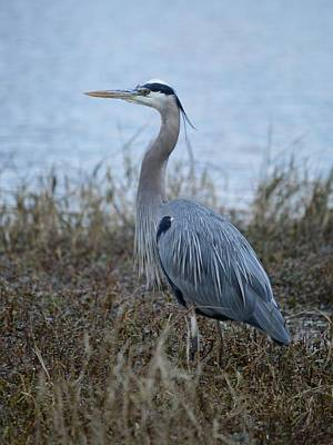 Photograph - Great Blue Heron - Facing Left by rd Erickson