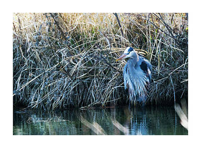 Photograph - Great Blue Heron Fine Plumage by Edward Peterson