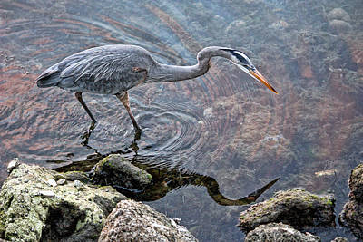 Photograph - Great Blue Heron Fishing By H H Photography Of Florida by HH Photography of Florida