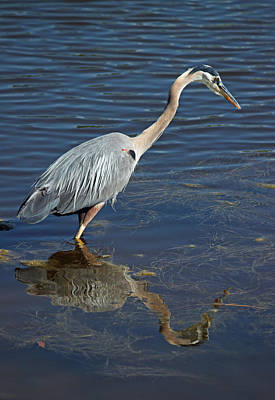 Photograph - Great Blue Heron - Fishing For Midday Meal by Suzanne Gaff