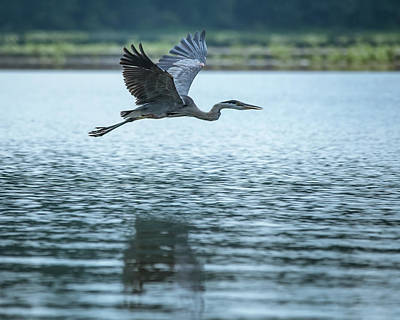 Photograph - Great Blue Heron Flying by Jemmy Archer