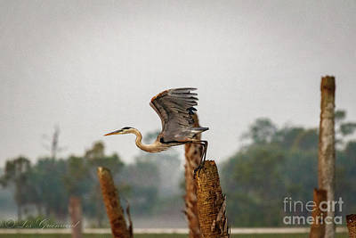 Photograph - Great  Blue Heron Flying by Les Greenwood