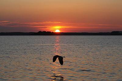 Photograph - Great Blue Heron Flying Through Sunset by Robert Banach