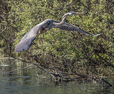 Photograph - Great Blue Heron Flying by William Bitman