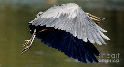 Watercolor Typographic Countries - Great Blue Heron Flying with Fish by Sue Harper